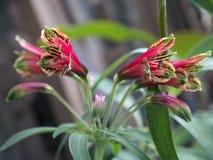 περουβιανό ροζ κρίνων λουλουδιών alstroemeria Στοκ φωτογραφίες με δικαίωμα ελεύθερης χρήσης