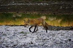 Περπάτημα αλεπούδων στοκ εικόνες