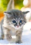 περπάτημα γατακιών Στοκ Εικόνα