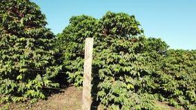 Περπάτημα γύρω από τη φυτεία καφέ φιλμ μικρού μήκους