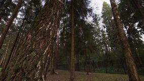 Περπάτημα κάτω από τα υψηλά δέντρα τη θερινή ημέρα στο δάσος φιλμ μικρού μήκους