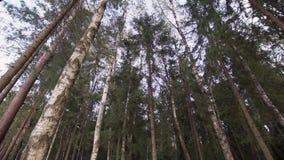 Περπάτημα κάτω από τα ψηλά δέντρα τη θερινή ημέρα στο δάσος απόθεμα βίντεο