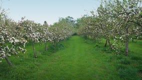 Περπάτημα μέσω του οπωρώνα μήλων απόθεμα βίντεο