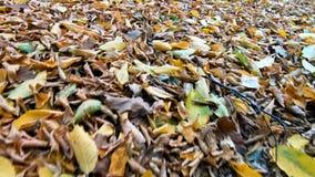 Περπάτημα μέσω των φύλλων το φθινόπωρο απόθεμα βίντεο