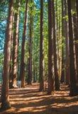 Περπάτημα μέσω των redwoods στοκ εικόνες
