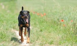 περπάτημα μονοπατιών σκυλ Στοκ Φωτογραφίες