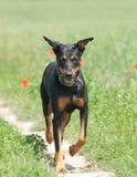 περπάτημα μονοπατιών σκυλ Στοκ εικόνες με δικαίωμα ελεύθερης χρήσης