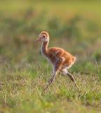 Περπάτημα νεοσσών γερανών Sandhill Στοκ Εικόνες