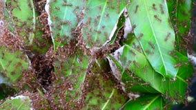 Περπάτημα πολλών μυρμηγκιών απόθεμα βίντεο