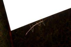 περπάτημα ραβδιών εντόμων Στοκ Εικόνες