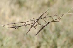 περπάτημα ραβδιών phasmatodea femorata diapheromera Στοκ Φωτογραφίες