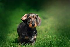 Περπάτημα σκυλιών Dachshund Στοκ Εικόνα