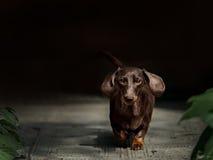Περπάτημα σκυλιών Dachshund Στοκ Φωτογραφίες