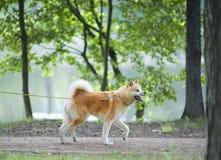 Περπάτημα σκυλιών inu Aikita Στοκ φωτογραφία με δικαίωμα ελεύθερης χρήσης