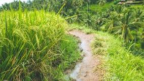 Περπάτημα της πορείας κατά μήκος των τομέων πεζουλιών ρυζιού με τον όμορφο θολωμένο φοίνικα καρύδων στο υπόβαθρο, Ubud, Μπαλί, Ιν Στοκ εικόνες με δικαίωμα ελεύθερης χρήσης