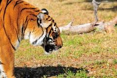 περπάτημα τιγρών της Βεγγάλης Στοκ Φωτογραφίες