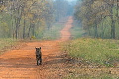 Περπάτημα τιγρών στοκ φωτογραφίες με δικαίωμα ελεύθερης χρήσης