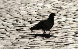 Περπάτημα του περιστεριού στη Ρώμη Στοκ φωτογραφία με δικαίωμα ελεύθερης χρήσης