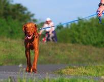 Περπάτημα του σκυλιού στη φύση Στοκ φωτογραφία με δικαίωμα ελεύθερης χρήσης
