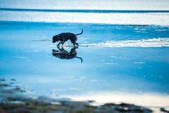 Περπάτημα του σκυλιού Στοκ Εικόνες
