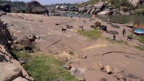 Περπάτημα των ζώων κοντά στον ποταμό απόθεμα βίντεο