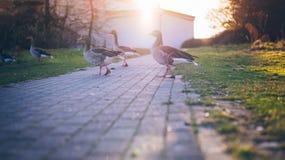 περπάτημα χήνων στοκ εικόνα