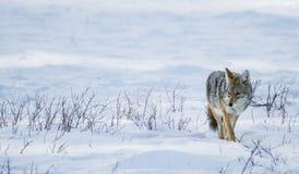 περπάτημα χιονιού κογιότ Στοκ φωτογραφία με δικαίωμα ελεύθερης χρήσης