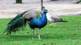 Περπάτημα Peacock στοκ φωτογραφίες