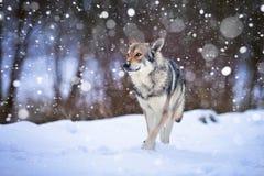 Περπάτημα Wolfdog Saarloos Στοκ Φωτογραφίες