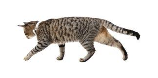 Περπατώντας γάτα Στοκ Εικόνα