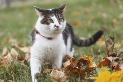 Περπατώντας γάτα Στοκ Φωτογραφία