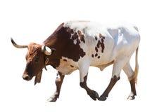 Περπατώντας ταύρος, που απομονώνεται πέρα από το άσπρο υπόβαθρο Στοκ Εικόνες