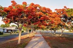 Περπατώντας τη διαδρομή που ευθυγραμμίζεται με τα κόκκινα ανθίζοντας δέντρα στοκ εικόνες με δικαίωμα ελεύθερης χρήσης