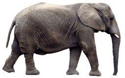 Περπατώντας τον ελέφαντα που απομονώνεται Στοκ φωτογραφία με δικαίωμα ελεύθερης χρήσης