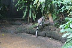 Περπατώντας το κερκοπίθηκο που απομονώνεται στο ζωολογικό κήπο της επίγειας Σιγκαπούρης Στοκ Εικόνα