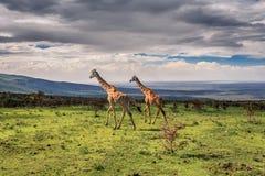 Περπατώντας giraffes Στοκ Φωτογραφίες