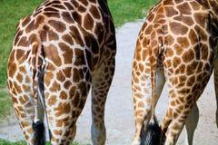 Περπατώντας giraffes Στοκ εικόνες με δικαίωμα ελεύθερης χρήσης