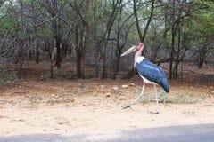 Περπατώντας Marabou στοκ εικόνα με δικαίωμα ελεύθερης χρήσης