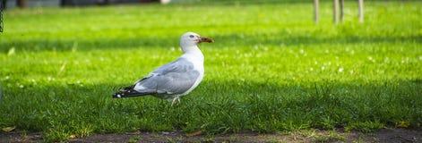 Περπατώντας seagull πουλί Στοκ Φωτογραφίες