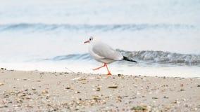Περπατώντας seagull στοκ εικόνα