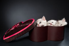Περσικές γάτες γατών Στοκ Εικόνες