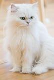 Περσικές γάτες WWhite Στοκ Εικόνα