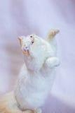 Περσική γάτα ένα ελαφρύ υπόβαθρο Στοκ Εικόνες