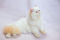 Περσική γάτα ένα ελαφρύ υπόβαθρο Στοκ φωτογραφίες με δικαίωμα ελεύθερης χρήσης