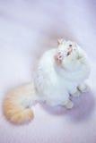 Περσική γάτα ένα ελαφρύ υπόβαθρο Στοκ εικόνες με δικαίωμα ελεύθερης χρήσης