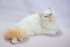 Περσική γάτα ένα ελαφρύ υπόβαθρο Στοκ φωτογραφία με δικαίωμα ελεύθερης χρήσης