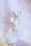 Περσική γάτα ένα ελαφρύ υπόβαθρο Στοκ Φωτογραφία