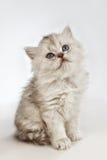 Περσική γάτα γατών Στοκ εικόνες με δικαίωμα ελεύθερης χρήσης