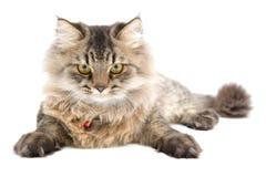 Περσική γάτα, μπροστινό πρόσωπο Στοκ φωτογραφία με δικαίωμα ελεύθερης χρήσης