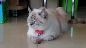 Περσική γάτα που αναμιγνύεται με την ταϊλανδική γάτα Στοκ εικόνα με δικαίωμα ελεύθερης χρήσης